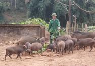 Về ngoại ô, xem lợn rừng chạy bộ... cho tiêu mỡ