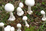 Ăn nấm trong vườn nhà, 13 người bị ngộ độc