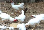 Độc đáo gà 9 cựa đột biến trắng muốt