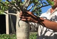 """Đam mê hoa, chàng trai Sa Đéc kiếm bộn tiền nhờ tạo ra cây sứ """"chân dài tới nách"""""""