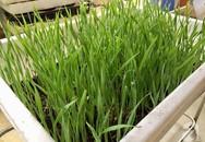 Không có đất trồng rau, mẹ đảm ở Hà Nội trồng cỏ lúa mì để bảo vệ sức khỏe cả nhà