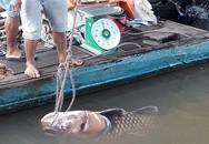 Vĩnh Long: Bắt được cá hô khổng lồ nặng 125 ký, bán hơn 300 triệu đồng
