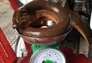 Nghệ An: Lươn khổng lồ nặng 1,6 kg khiến nhiều người giật mình
