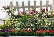 Ban công phủ kín hoa hồng đẹp như trong mơ của bà mẹ ở Hải Dương