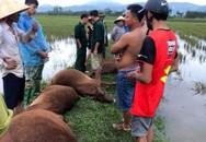 Hà Tĩnh: Sét đánh 1 người nguy kịch, 6 con bò bị chết