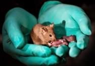 Tạo phôi thai chuột không cần trứng và tinh trùng