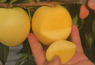 Trồng giống đào vàng ươm lạ mắt, mỗi năm kiếm gần 700 triệu