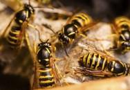 Cứu sống cụ bà 73 tuổi bị 20 con ong võ vẽ đốt
