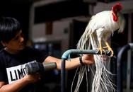 Tây Ninh: Bán gà Onagadori đo đuôi tính tiền, giá trăm triệu mỗi con