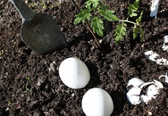 Chôn một quả trứng xuống vườn nhà, kết quả nhận được sẽ khiến nhiều người ngỡ ngàng
