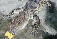 Cá sấu 10 kg xuất hiện trên bờ ao nuôi tôm