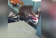Khỉ hoang giặt quần áo hộ người