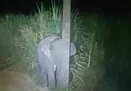 Ngộ nghĩnh voi con trốn sau cột đèn
