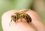 Mùa dứa, nhãn, vải: Cẩn trọng bị dị ứng, nhiễm độc do ong đốt