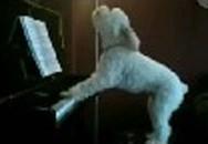 Chú chó đàn hát như ca sĩ được cư dân mạng hết lời khen ngợi