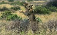 Sư tử khiêu vũ trước sự ngỡ ngàng của du khách