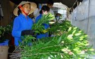 Lãi 3 tỷ đồng mỗi năm nhờ trồng hoa lily