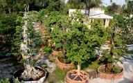 Chủ cặp khế 300 tuổi rao bán vườn kiểng giá 170 tỷ đồng