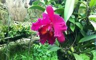 Cây lan nghìn đô 15 năm mới nở hoa ở Hà Nội