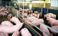 Phạt nặng và siết chặt quản lý chất cấm trong chăn nuôi