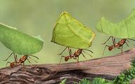 Mẹo đuổi và diệt kiến không dùng hóa chất
