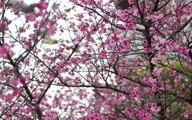 Lễ hội Hoa anh đào 2015 sẽ diễn ra tại Hoàng thành