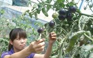 Cơn sốt cà chua đen ở Đà Lạt