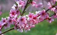 Bí quyết giữ hoa đào tươi lâu đón Tết