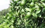 Thu hàng trăm triệu đồng nhờ trồng chanh tứ quý