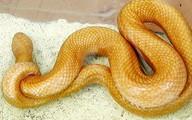Rắn dài gần 1 m có màu vàng kỳ lạ ở miền Tây