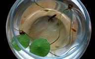 Chi bạc triệu trồng sen mini trong nhà, chờ một năm ngắm hoa