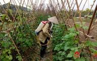Hà Nội: Chỉ 5% rau an toàn vào siêu thị
