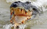 Cá sấu bò vào lều, đớp chân người ở Australia