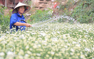 Cúc họa mi được mùa, được giá, nông dân Nhật Tân vui mừng bỏ túi cả trăm triệu đồng
