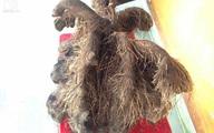Đào được củ khoai tía khổng lồ nặng 23 kg