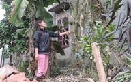 Hà Nội: Lão nông hàng ngày hái chè 200 tuổi hãm nước uống