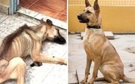 Hành trình hồi phục kỳ diệu của chú chó gầy trơ xương vì bị chủ ngược đãi