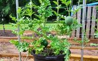 Với mẹo này, trồng dưa hấu trong chậu trở nên cực kỳ đơn giản