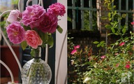 Khu vườn rực rỡ 300 gốc hồng đẹp như ở Châu Âu giữa lòng Hà Nội của bà mẹ một con