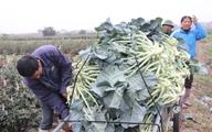 """Mê Linh - Hà Nội: Nông dân """"khóc ròng"""" vì rau... được mùa"""