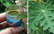 Uống nước ép lá đu đủ, bạn sẽ thấy 9 điều bất ngờ này