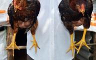 """Bí quyết chọn gà nòi lai đúng """"chuẩn"""" ăn Tết"""