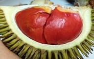 Ghép, trồng 7.000 cây giống sầu riêng độc-lạ, lời gần 2 tỷ đồng
