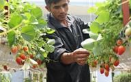Trồng dâu tây lơ lửng, trái thả đong đưa, lãi 2 tỷ đồng mỗi năm