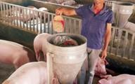 Nam Định: Nuôi lợn bằng hoa quả, nhân sâm