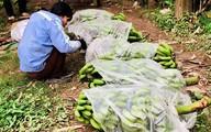 Vĩnh Phúc: Tết ấm no nhờ thu được hàng trăm triệu đồng từ loại quả này