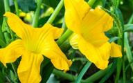 Công dụng 'toàn năng' của hoa bí - thực phẩm bổ dưỡng tuyệt vời!
