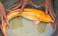 Bắt được cá trê vàng rực: Của hiếm, triệu con có 1