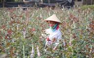 Người phụ nữ rời Thủ đô lên núi trồng hoa hồng, lãi hơn 300 triệu đồng mỗi năm