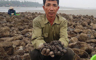 Săn vẹm biển bé tin hin, bám ở đá, kiếm nửa triệu/ngày